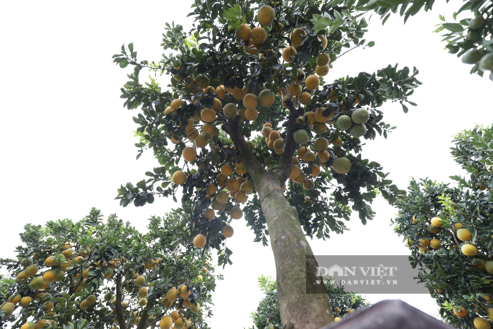 Đeo lúc lỉu hơn 200 quả trên cây: Bưởi cảnh khổng lồ 'hét' giá cho thuê gần 100 triệu đồng - Ảnh 3.