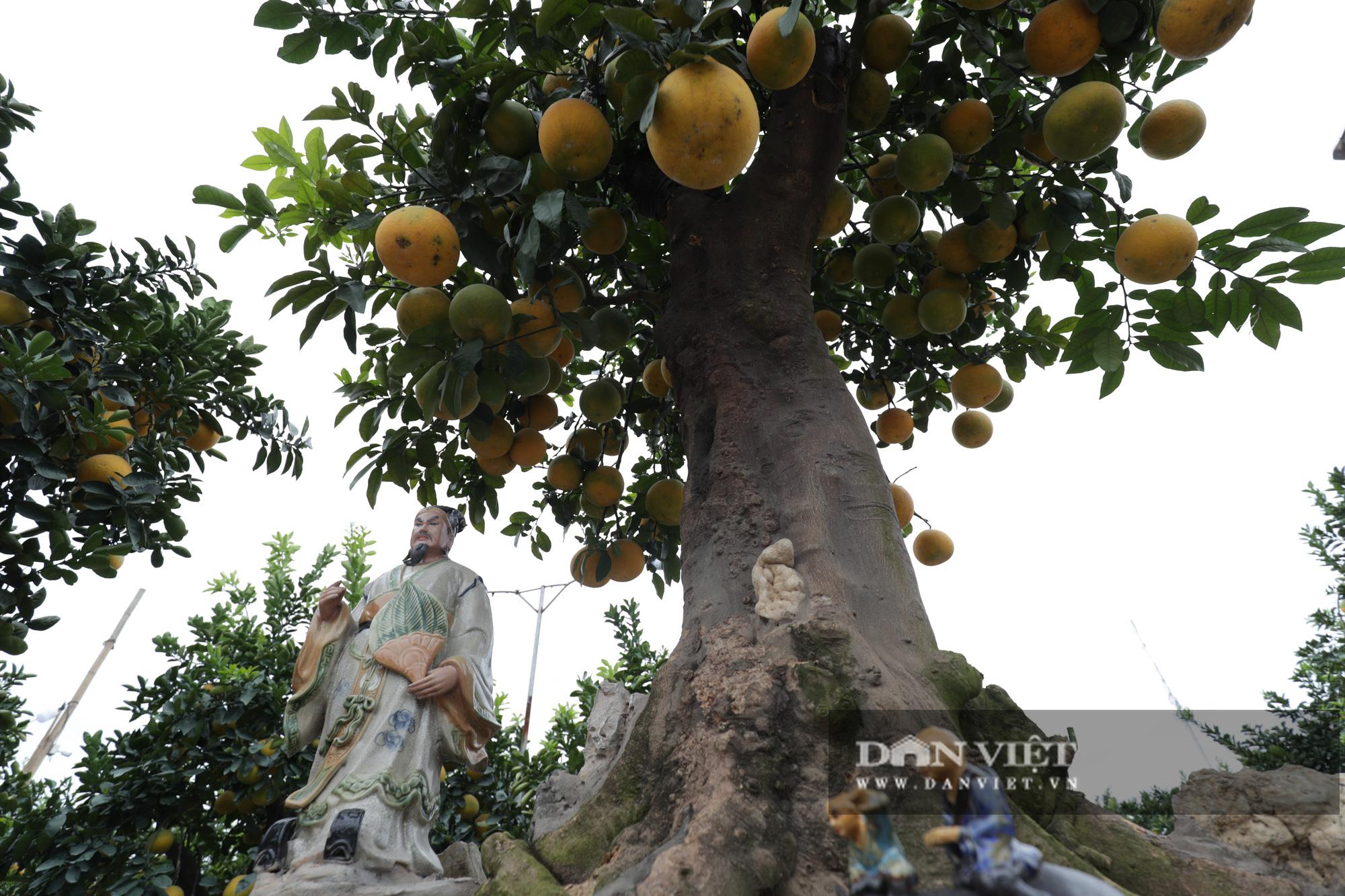 Đeo lúc lỉu hơn 200 quả trên cây: Bưởi cảnh khổng lồ 'hét' giá cho thuê gần 100 triệu đồng - Ảnh 7.