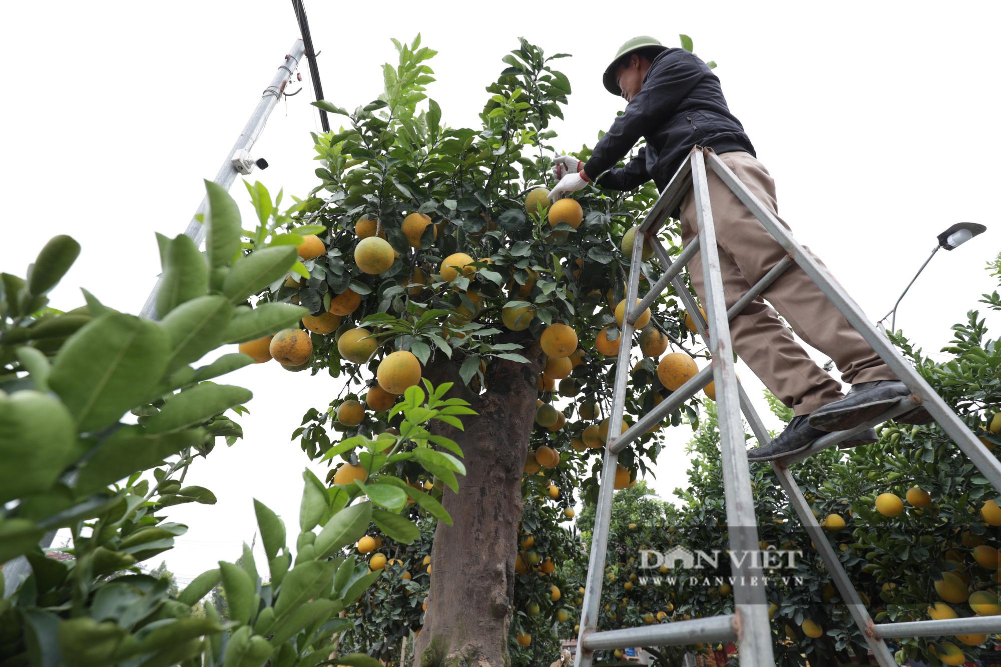 Đeo lúc lỉu hơn 200 quả trên cây: Bưởi cảnh khổng lồ 'hét' giá cho thuê gần 100 triệu đồng - Ảnh 6.