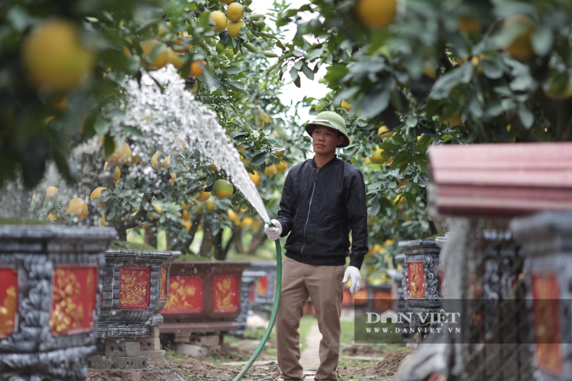 Đeo lúc lỉu hơn 200 quả trên cây: Bưởi cảnh khổng lồ 'hét' giá cho thuê gần 100 triệu đồng - Ảnh 5.