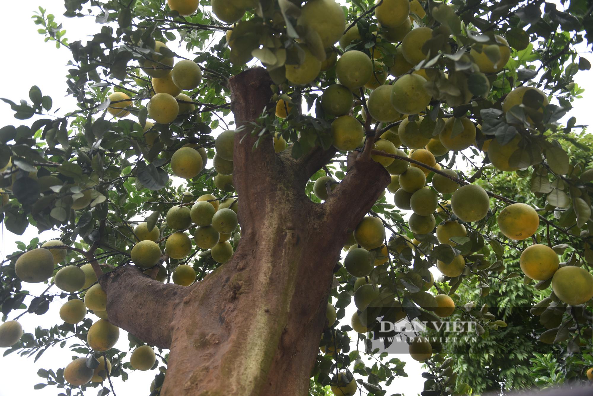 Đeo lúc lỉu hơn 200 quả trên cây: Bưởi cảnh khổng lồ 'hét' giá cho thuê gần 100 triệu đồng - Ảnh 4.