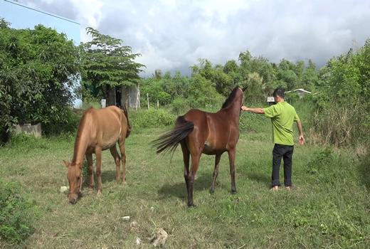 """Tiền Giang: Cả làng này nuôi ngựa, cha truyền con nối theo nghề """"Bật Mã Ôn"""", ai đến xem cũng bất ngờ - Ảnh 1."""