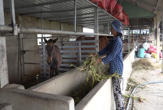 """Tiền Giang: Cả làng này nuôi ngựa, cha truyền con nối theo nghề """"Bật Mã Ôn"""", ai đến xem cũng bất ngờ - Ảnh 2."""