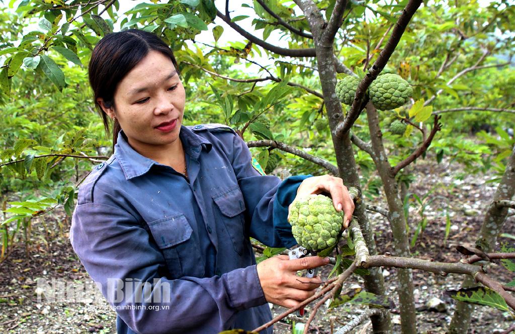 Ninh Bình: Trồng na ra quả trái vụ, cắt 5 tấn trái nào cũng to bự, nông dân này trúng lớn - Ảnh 1.