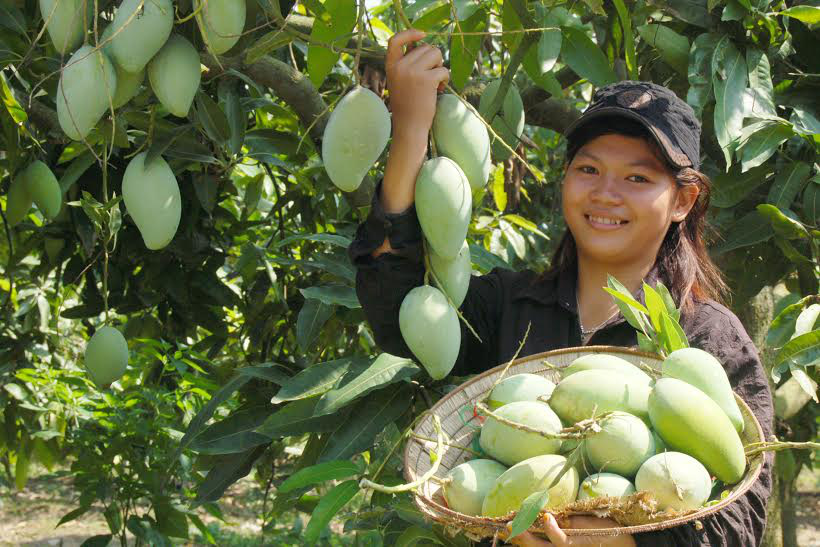 Trung Quốc mở cửa cho xoài Campuchia, xoài Việt Nam có bị ảnh hưởng? - Ảnh 1.