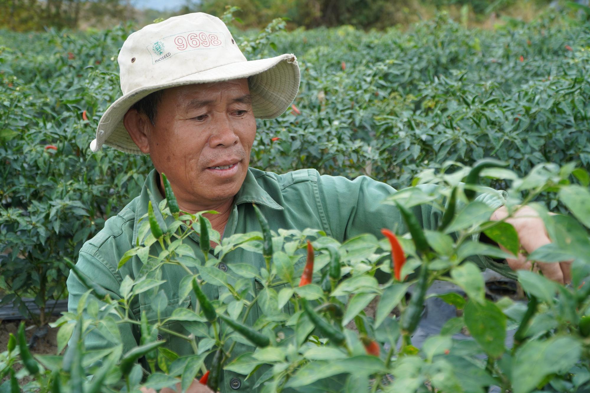 Gia Lai: Giá ớt tăng kỷ lục, nông dân lãi hàng trăm triệu đồng/vụ - Ảnh 1.