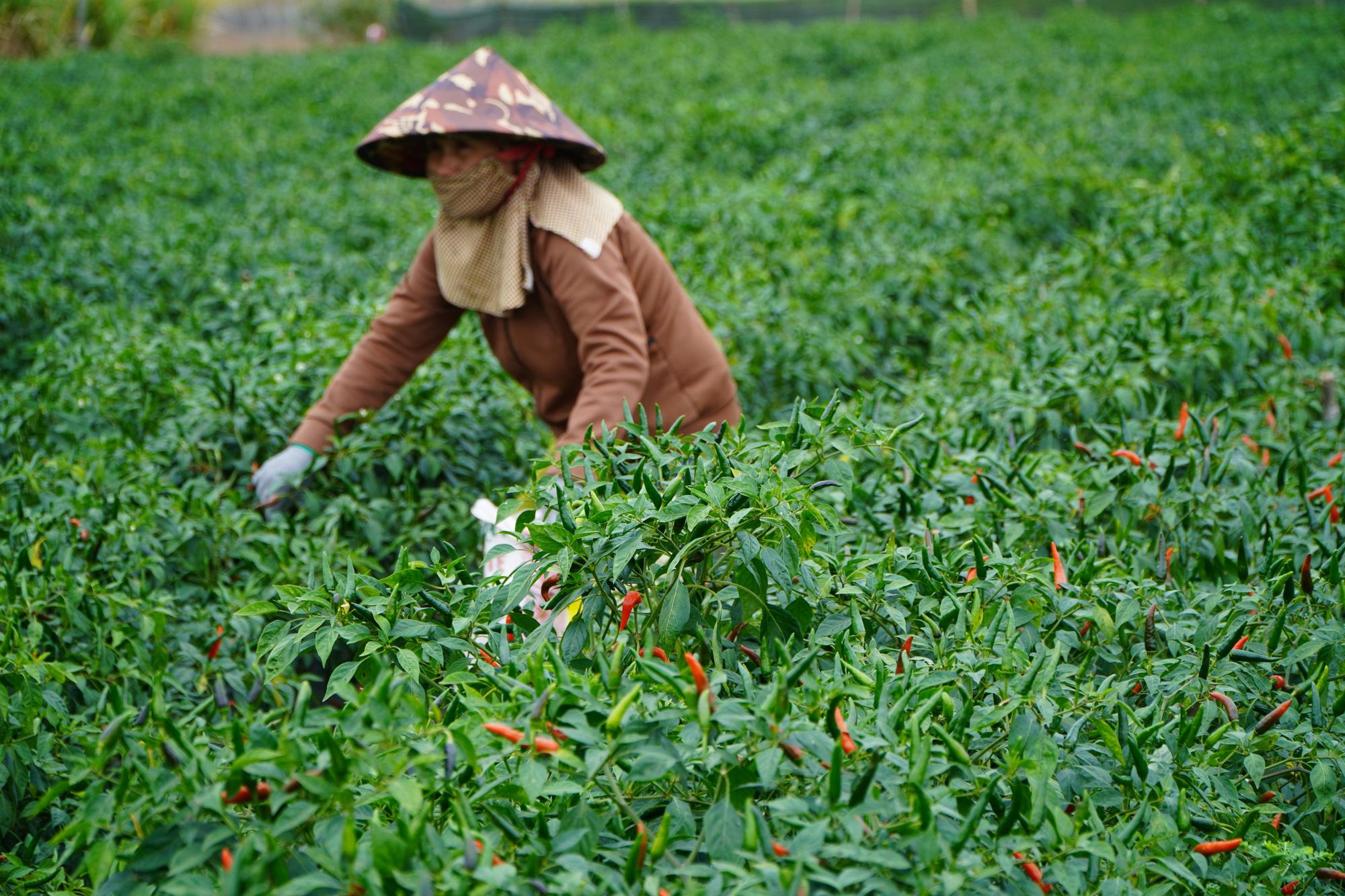 Gia Lai: Giá ớt tăng kỷ lục, nông dân lãi hàng trăm triệu đồng/vụ - Ảnh 3.