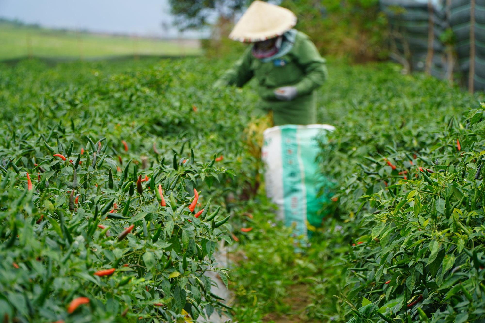Gia Lai: Giá ớt tăng kỷ lục, nông dân lãi hàng trăm triệu đồng/vụ - Ảnh 4.