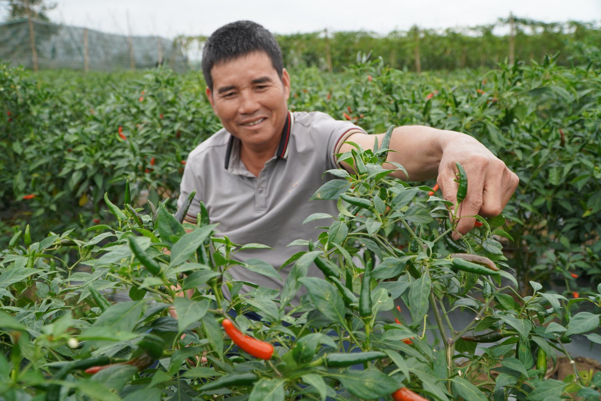 Gia Lai: Giá ớt tăng kỷ lục, nông dân lãi hàng trăm triệu đồng/vụ - Ảnh 5.