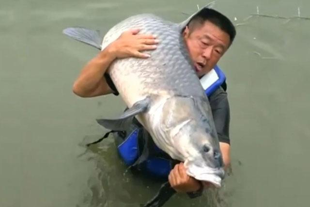 """Clip: Gay cấn cảnh chinh phục """"thủy quái"""" cá trắm đen nặng gần 75kg của cựu cần thủ - Ảnh 2."""