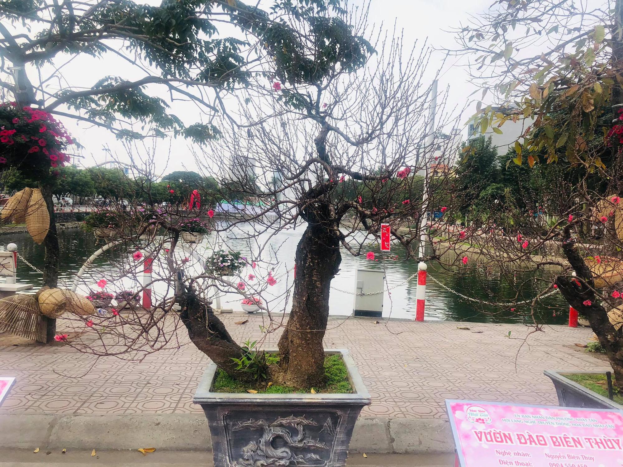 Trưng bày Đào độc, lạ trị giá 50 triệu đồng tại Lễ hội hoa đào Nhật Tân - Ảnh 8.