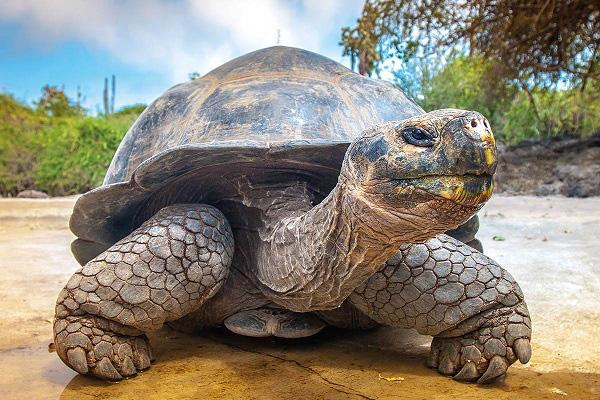 Rùa Galapagos - loài rùa lớn nhất thế giới có thể nhịn ăn trong 1 năm - Ảnh 3.