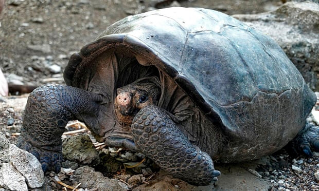 Rùa Galapagos - loài rùa lớn nhất thế giới có thể nhịn ăn trong 1 năm - Ảnh 4.