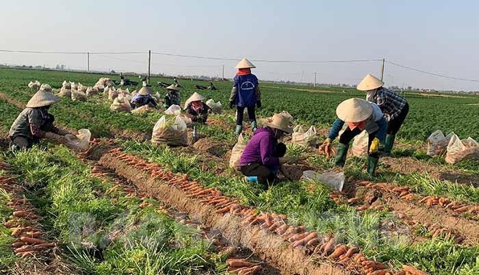 Xã nào của tỉnh Hải Dương trồng cà rốt nhiều nhất, được mùa trúng giá chưa từng thấy nhưng dân đang lo điều gì nhất? - Ảnh 1.