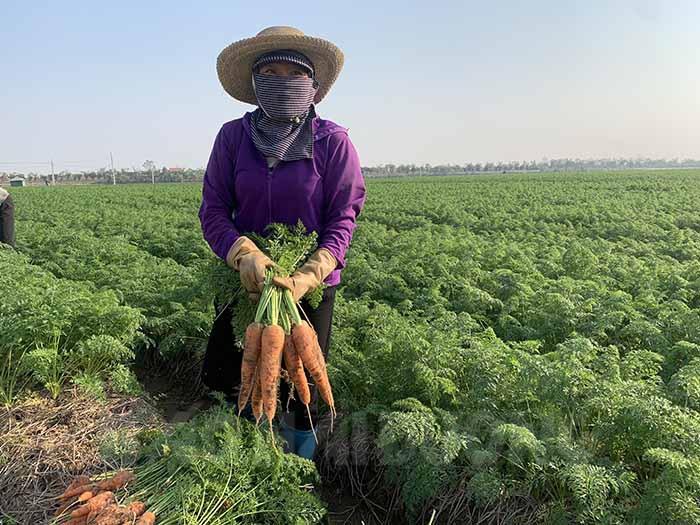 Xã nào của tỉnh Hải Dương trồng cà rốt nhiều nhất, được mùa trúng giá chưa từng thấy nhưng dân đang lo điều gì nhất? - Ảnh 4.