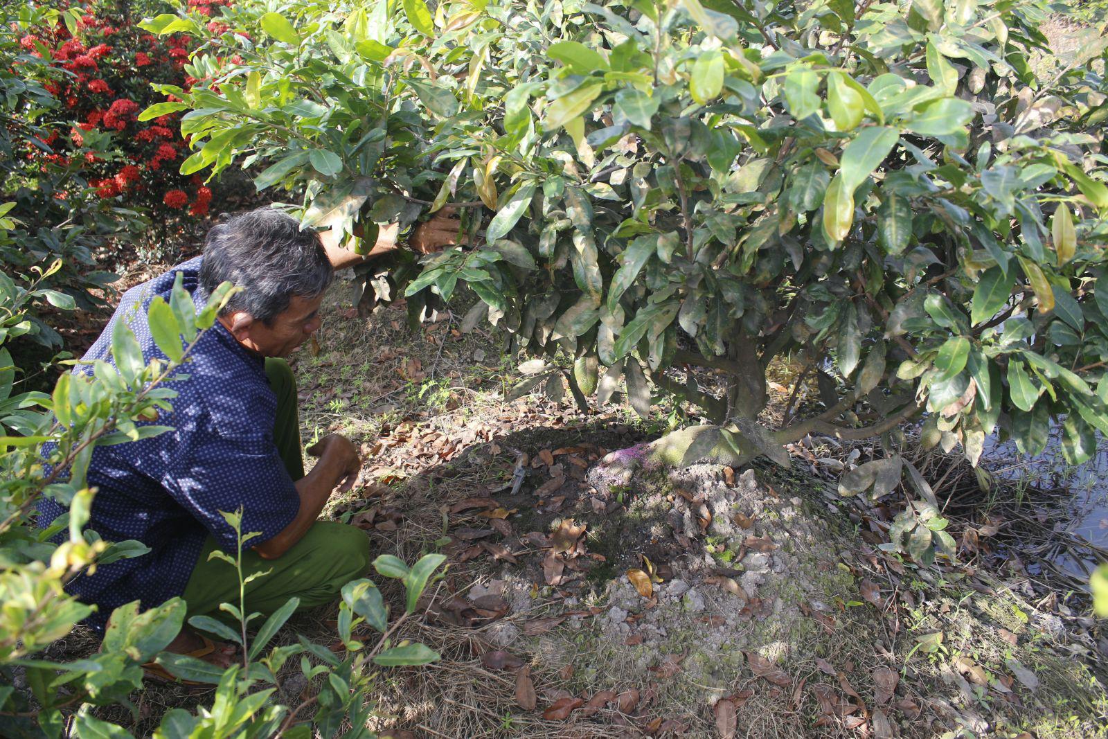 Nghề lạ ở tỉnh Long An: Giáp Tết cứ rủ nhau ra vườn hì hục đào gốc cây, ngơi tay có ngay 1 triệu - Ảnh 1.
