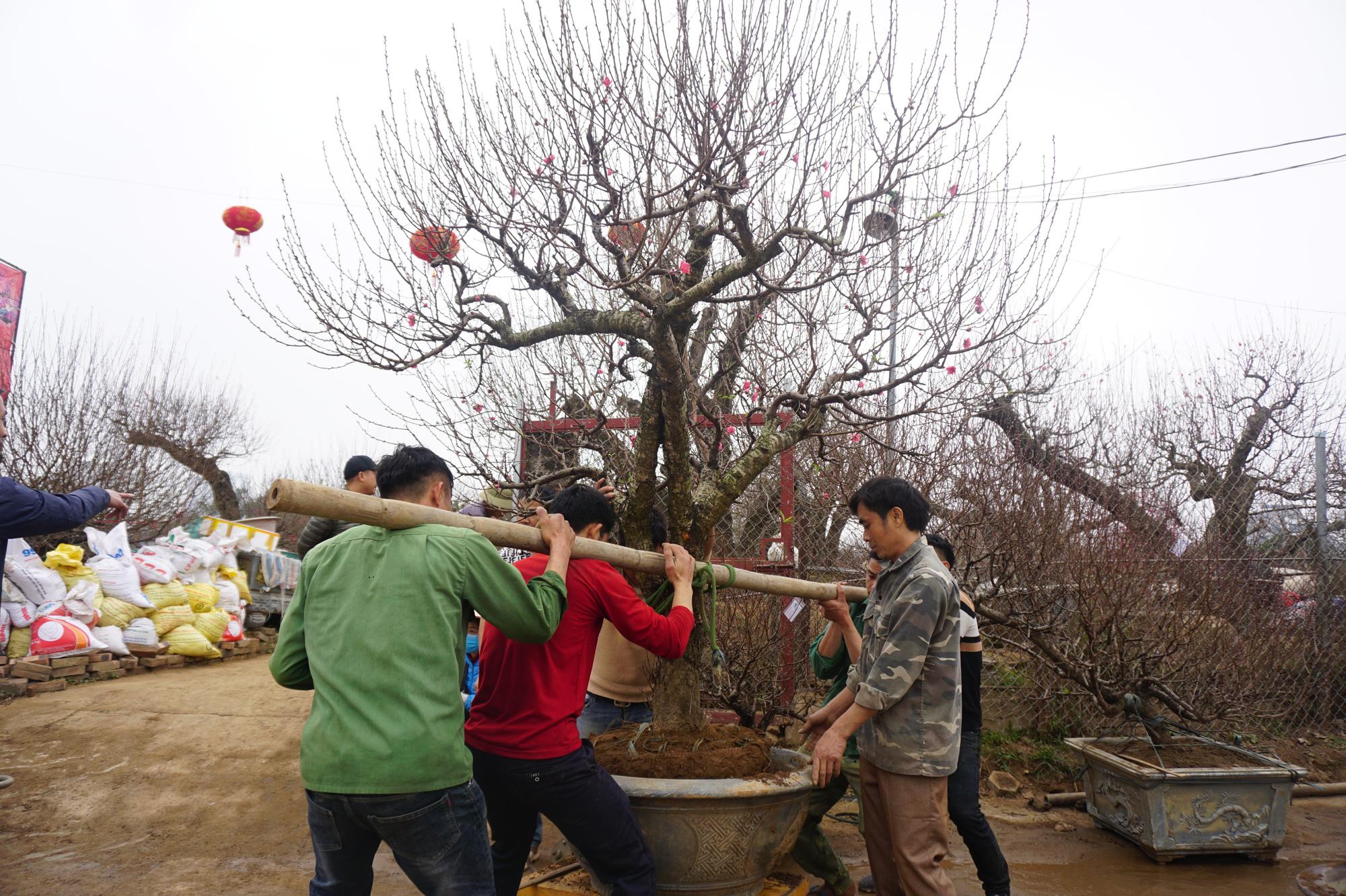 """Hà Nội: Đào Nhật Tân hàng chục năm tuổi được """"săn đón gắt gao"""", có người ngã giá cả trăm triệu về trưng Tết - Ảnh 3."""