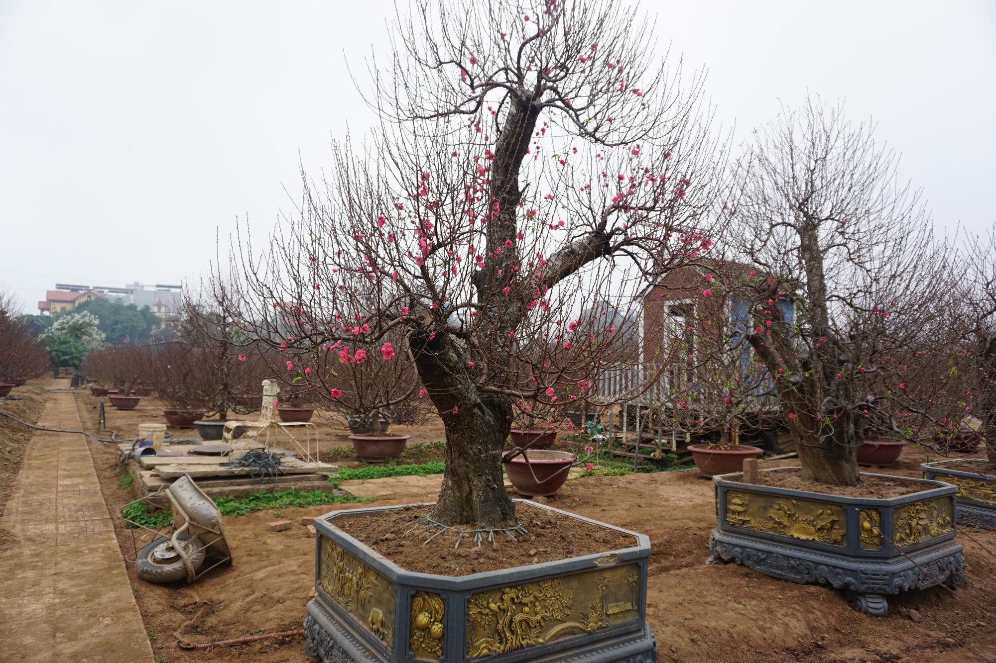 """Hà Nội: Đào Nhật Tân hàng chục năm tuổi được """"săn đón gắt gao"""", có người ngã giá cả trăm triệu về trưng Tết - Ảnh 4."""