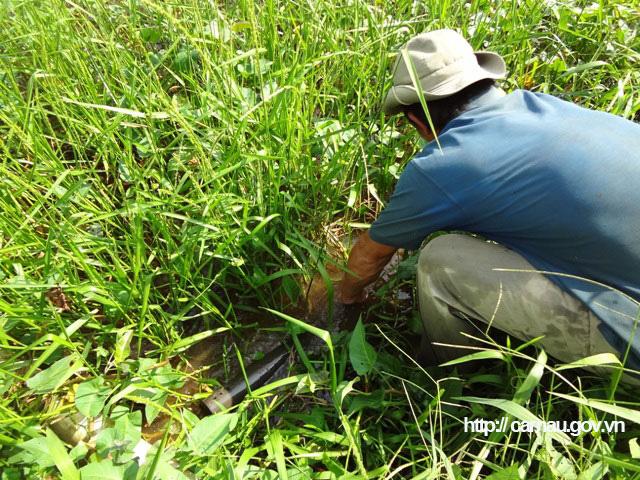 """Cà Mau: Lang thang ở cánh đồng hoang đặt trúm lươn đồng, lôi con lươn bự ra khỏi ống có người giật """"hết cả hồn"""" - Ảnh 4."""