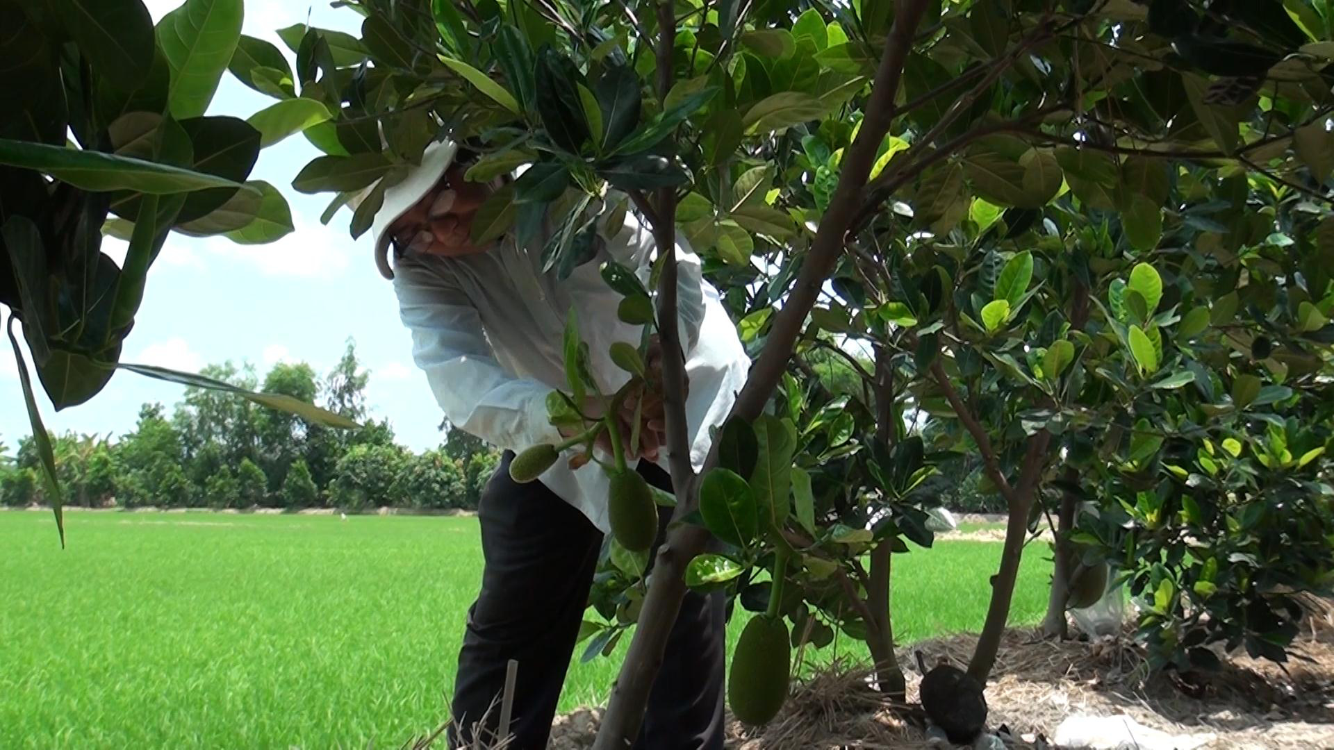 """An Giang: Trồng ruộng mít Thái ra trái quá trời, có 5 công đất mà """"hái"""" 300 triệu mỗi năm - Ảnh 3."""