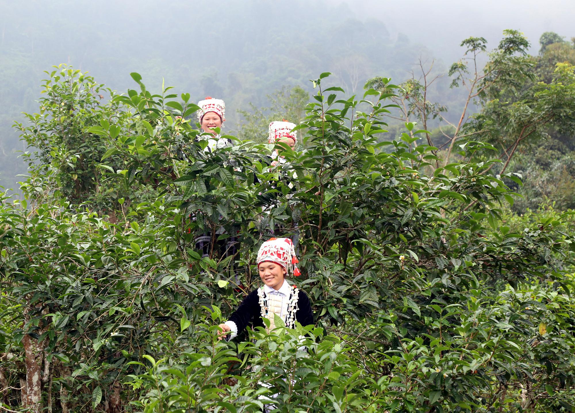 Lào Cai: Kho báu ở trên núi Ngải Trồ dân hái ngọn bán sang Trung Quốc thực ra là thứ gì? - Ảnh 1.
