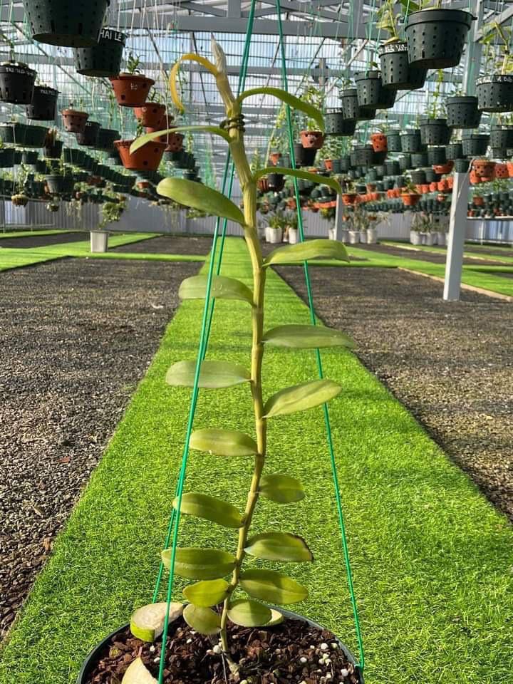 """Vườn lan đột biến """"khủng"""" trị giá 80 tỷ ở TP Cần Thơ có gì đặc biệt, các ông chủ tiết lộ điều bất ngờ - Ảnh 5."""