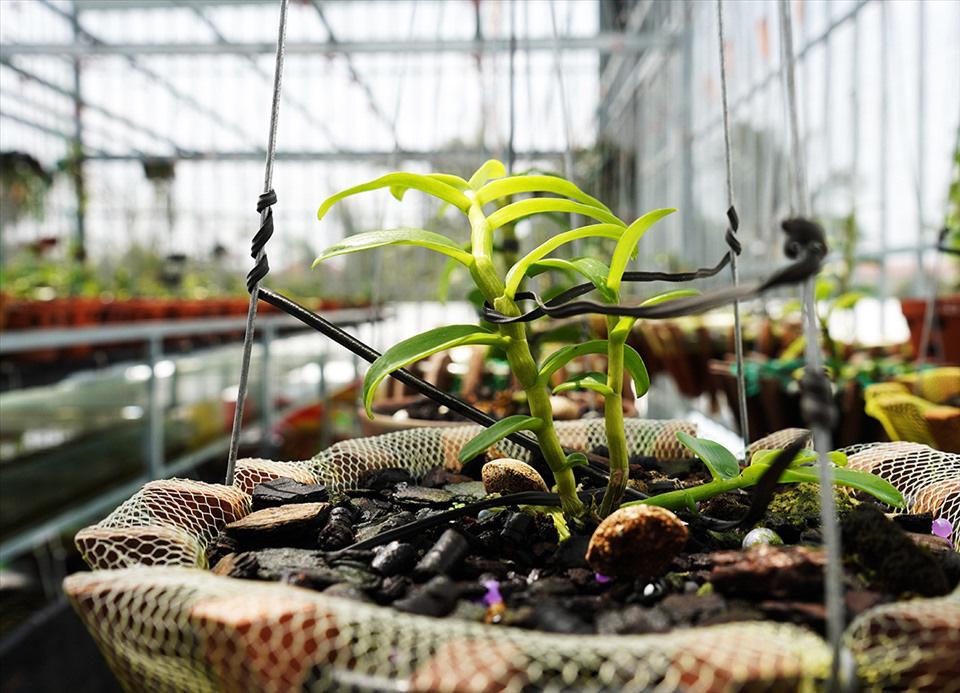 """Vườn lan đột biến """"khủng"""" trị giá 80 tỷ ở TP Cần Thơ có gì đặc biệt, các ông chủ tiết lộ điều bất ngờ - Ảnh 4."""