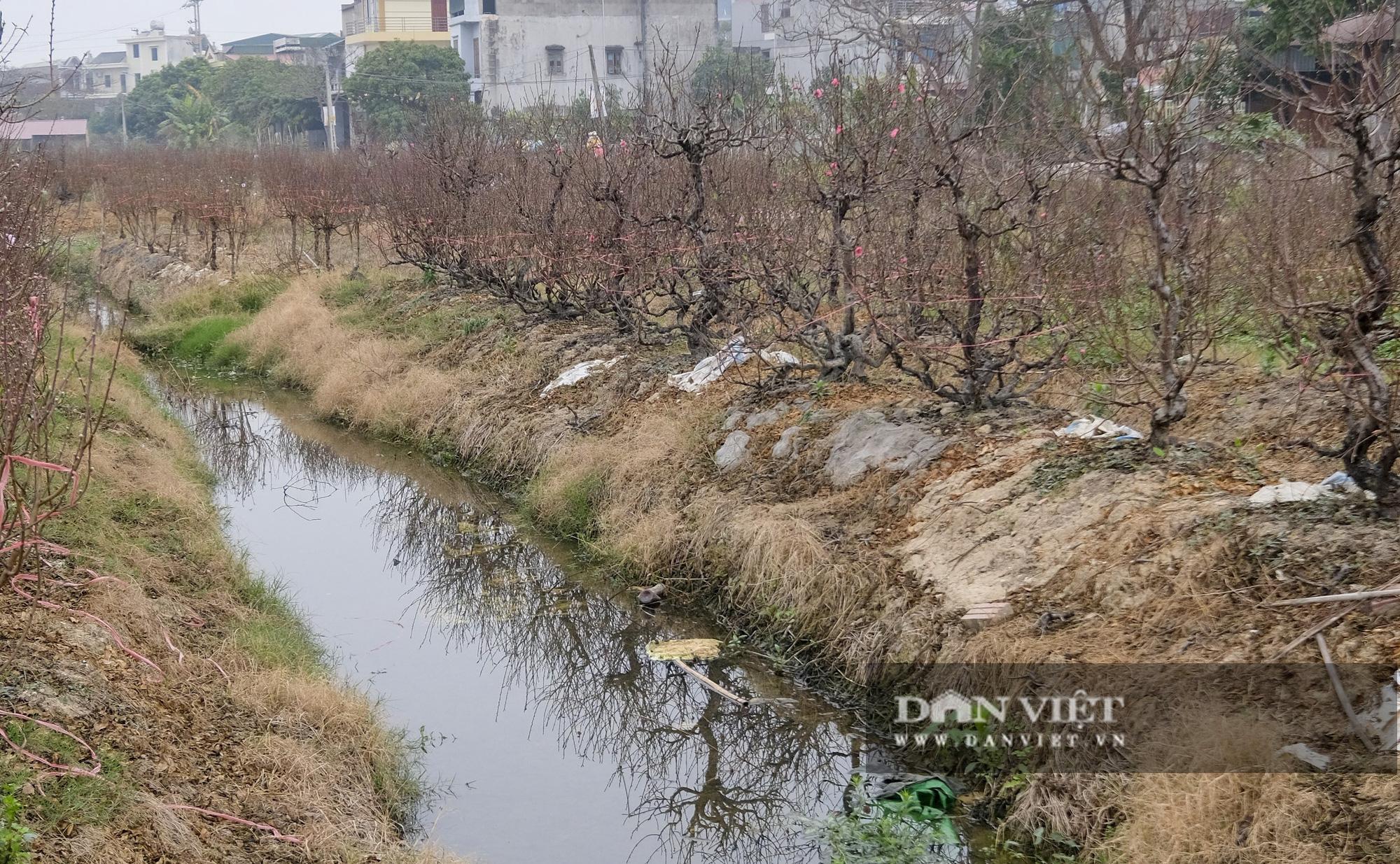 """Dịch COVID-19 khiến nông dân trồng đào Hải Dương """"đứng ngồi không yên"""" khi tết cận kề - Ảnh 4."""