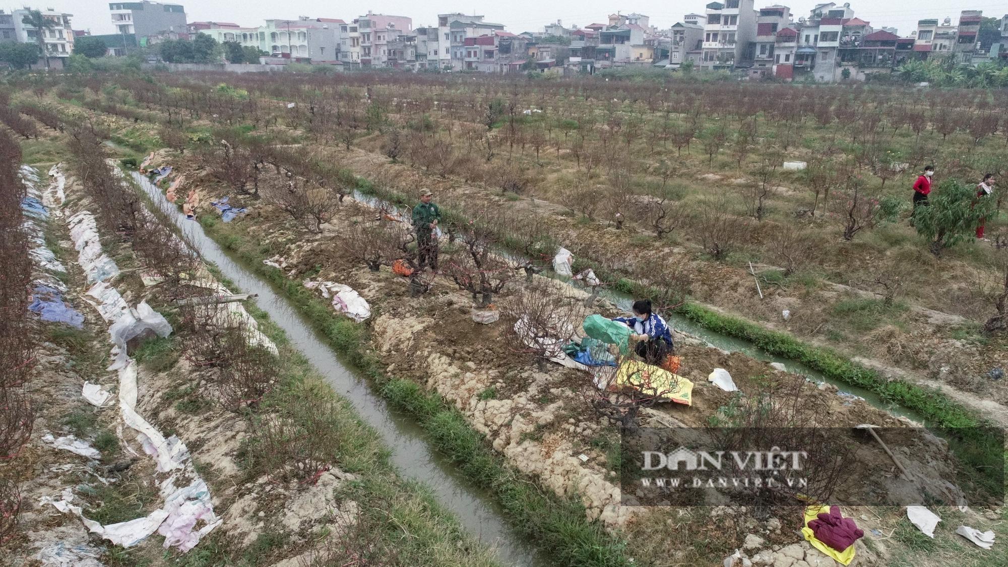 """Dịch COVID-19 khiến nông dân trồng đào Hải Dương """"đứng ngồi không yên"""" khi tết cận kề - Ảnh 1."""