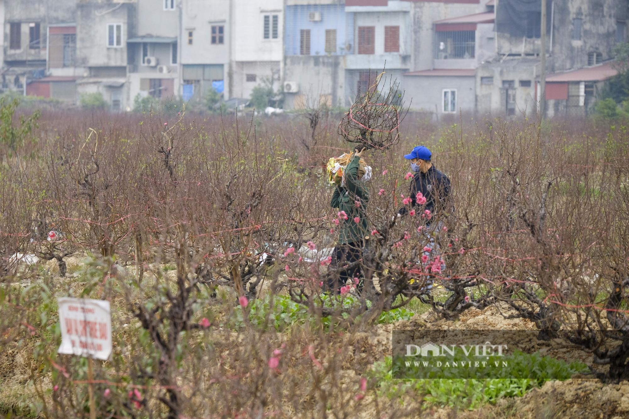 """Dịch COVID-19 khiến nông dân trồng đào Hải Dương """"đứng ngồi không yên"""" khi tết cận kề - Ảnh 6."""