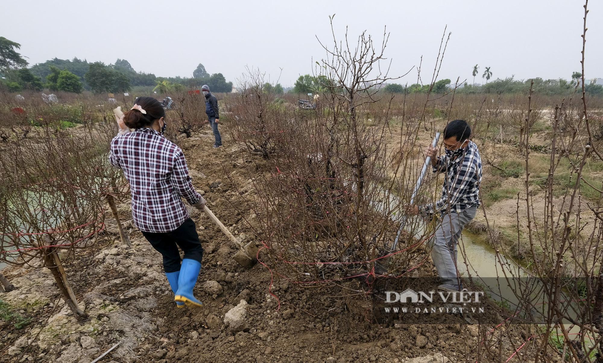 """Dịch COVID-19 khiến nông dân trồng đào Hải Dương """"đứng ngồi không yên"""" khi tết cận kề - Ảnh 3."""