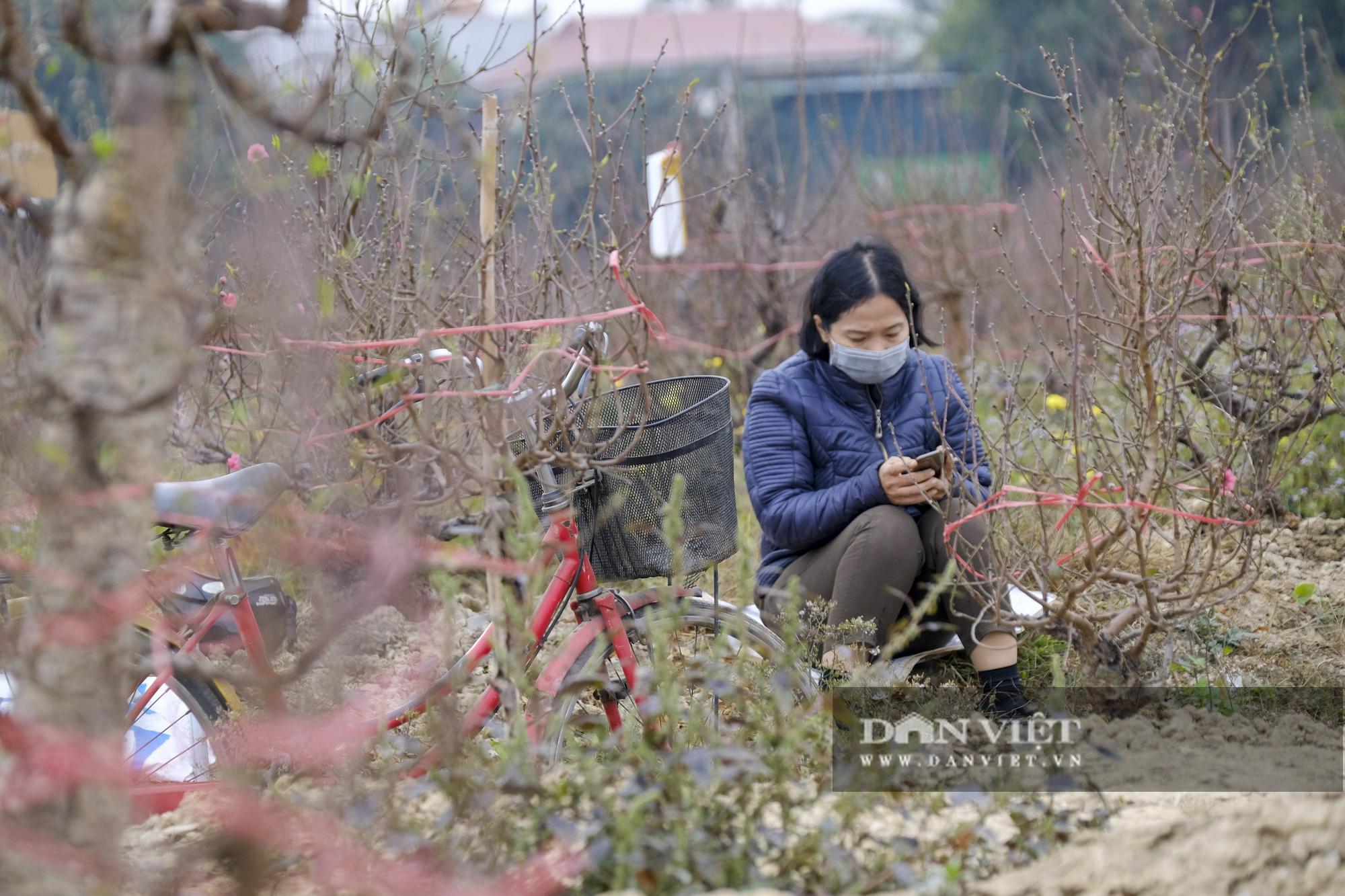 """Dịch COVID-19 khiến nông dân trồng đào Hải Dương """"đứng ngồi không yên"""" khi tết cận kề - Ảnh 2."""