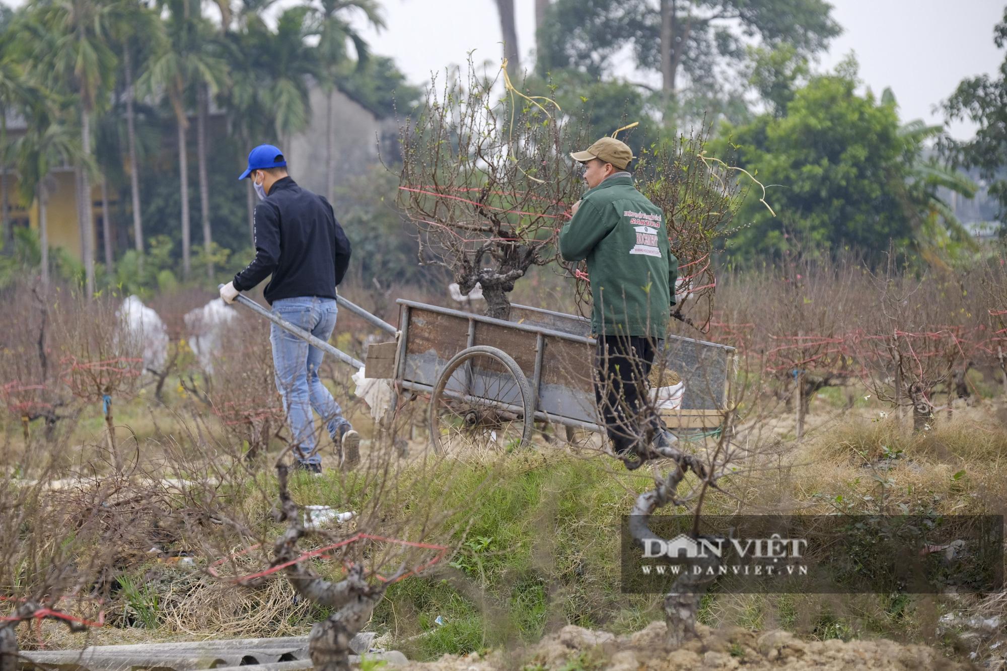 """Dịch COVID-19 khiến nông dân trồng đào Hải Dương """"đứng ngồi không yên"""" khi tết cận kề - Ảnh 7."""