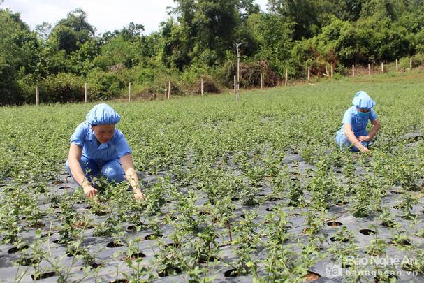 Nghệ An: Ở huyện Con Cuông, cây dược liệu được nông dân trồng là loài cây gì mà cắt đến đâu bán hết đến đó? - Ảnh 1.