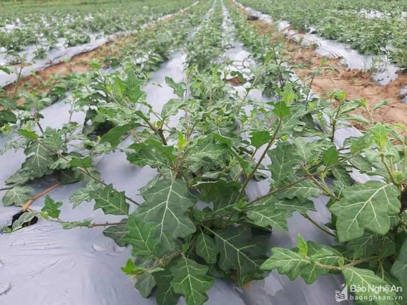 Nghệ An: Ở huyện Con Cuông, cây dược liệu được nông dân trồng là loài cây gì mà cắt đến đâu bán hết đến đó? - Ảnh 2.