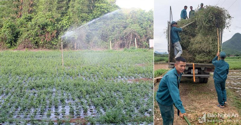 Nghệ An: Ở huyện Con Cuông, cây dược liệu được nông dân trồng là loài cây gì mà cắt đến đâu bán hết đến đó? - Ảnh 3.