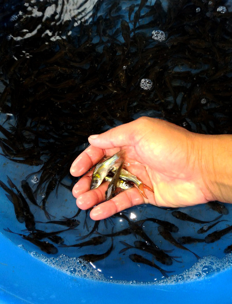"""Tiền Giang: Chuyện ly kỳ về loài cá hô có hình dáng khổng lồ, """"cá vợ cá chồng"""" sống với nhau """"trăm năm hạnh phúc"""" - Ảnh 3."""