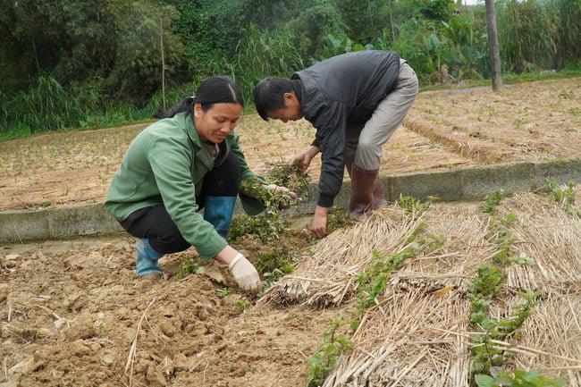 """Lạng Sơn: Trao 6 mã số vùng trồng cho 60 ha """"cây trăm tỷ""""  - Ảnh 1."""