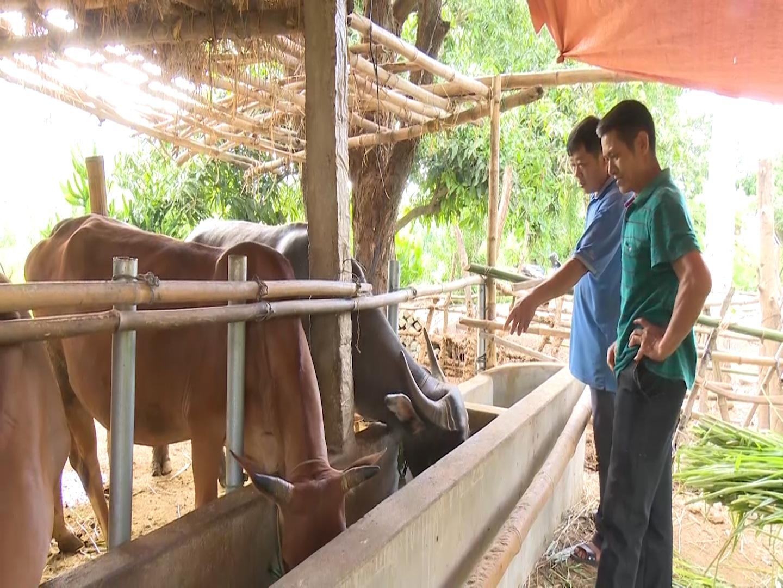 Nuôi bò nhốt chuồng, lấy phân bón cây ăn quả, mỗi năm nông dân thu gần 1 tỷ đồng - Ảnh 2.