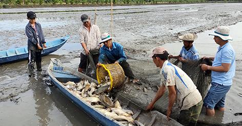 Hậu Giang: Nông dân bắt hàng tấn cá ruộng tươi roi rói, cá lóc to bự bán 90.000 đồng/ký - Ảnh 1.
