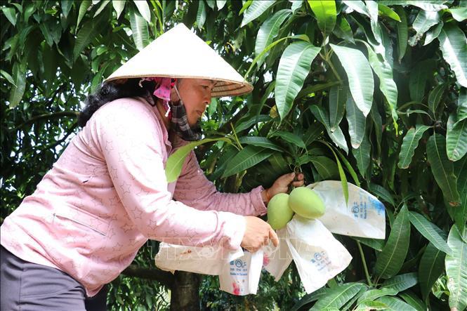 Sản xuất sản phẩm xoài chất lượng tạo nguồn nguyên liệu xuất khẩu - Ảnh 1.