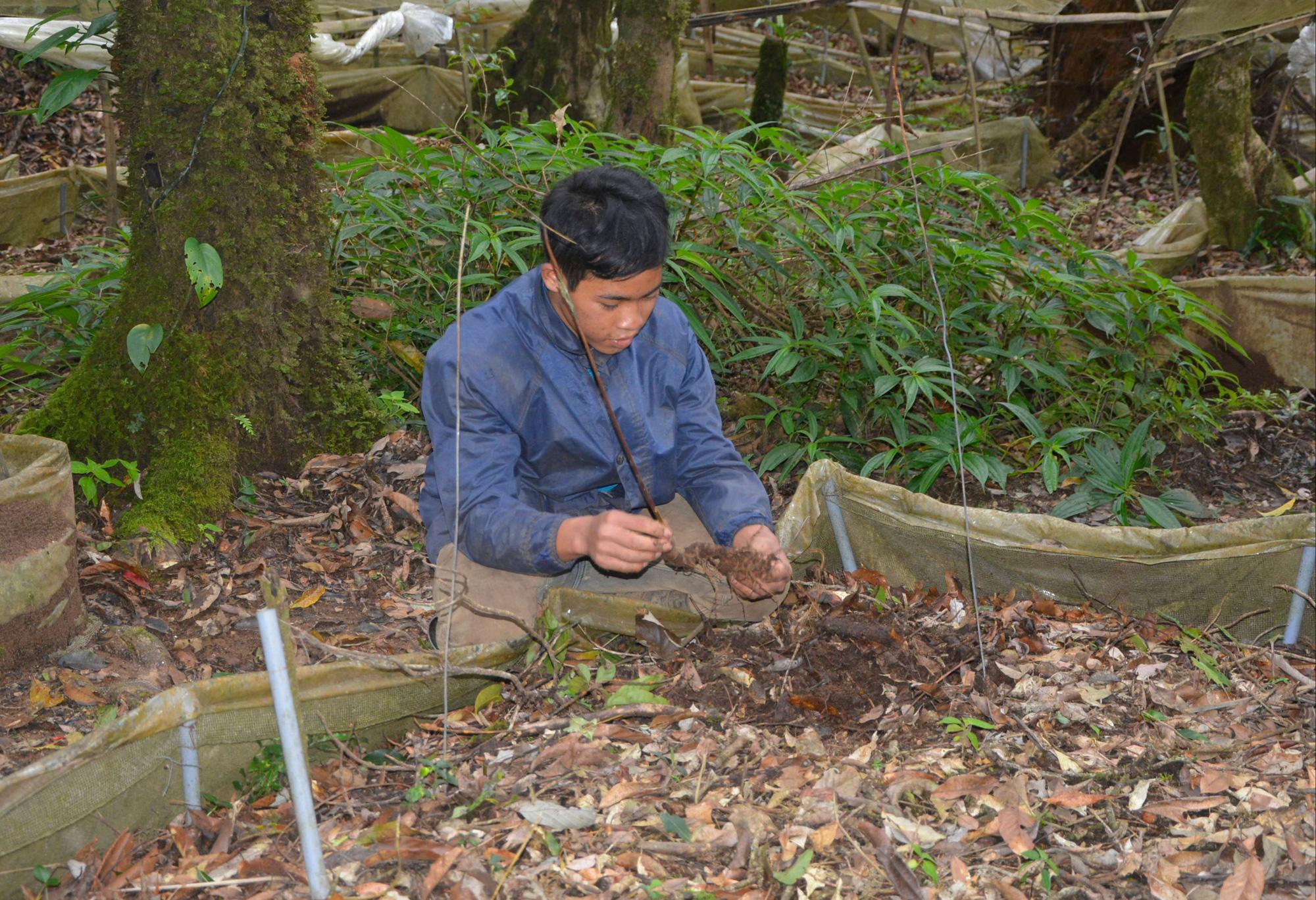 """Kon Tum: Lên núi âm u """"lạc"""" vào rừng sâm quý hiếm, nhìn không thấy gì, bới lớp đất ra là cả gia tài lớn - Ảnh 2."""