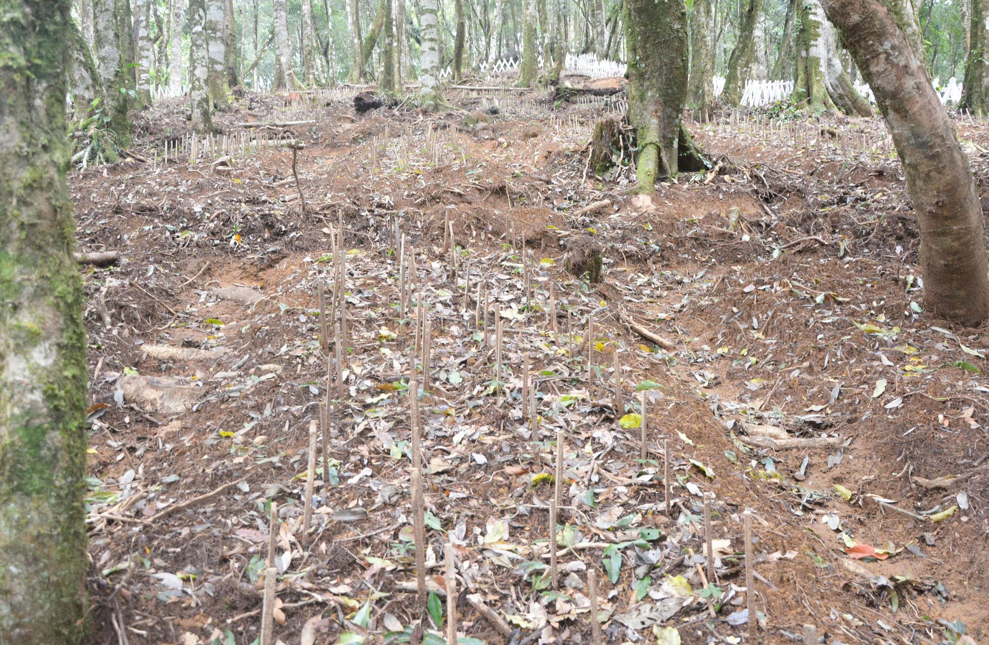 """Kon Tum: Lên núi âm u """"lạc"""" vào rừng sâm quý hiếm, nhìn không thấy gì, bới lớp đất ra là cả gia tài lớn - Ảnh 4."""