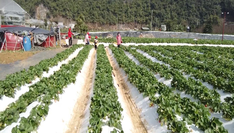 Sơn La: Dâu tây - sản phẩm nông sản gắn với du lịch trải nghiệm - Ảnh 3.
