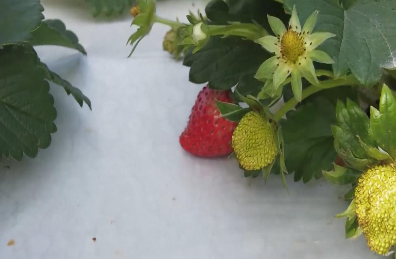 Sơn La: Dâu tây - sản phẩm nông sản gắn với du lịch trải nghiệm - Ảnh 4.