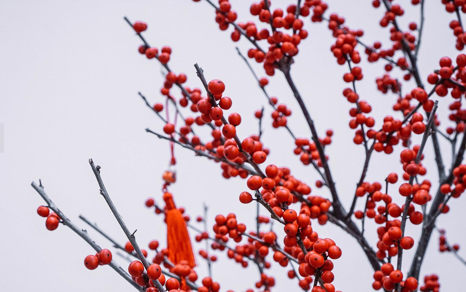 Cận cảnh đào đông nguyên chậu về Việt Nam chơi Tết, nhìn như cây giả mà đắt không tưởng - Ảnh 6.
