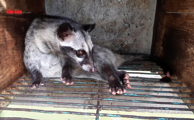 Cà Mau: Làm chuồng trên mặt nước nuôi loài thú trông như mèo mướp, hay đòi ăn chuối mà nông dân lời tiền tỷ - Ảnh 3.