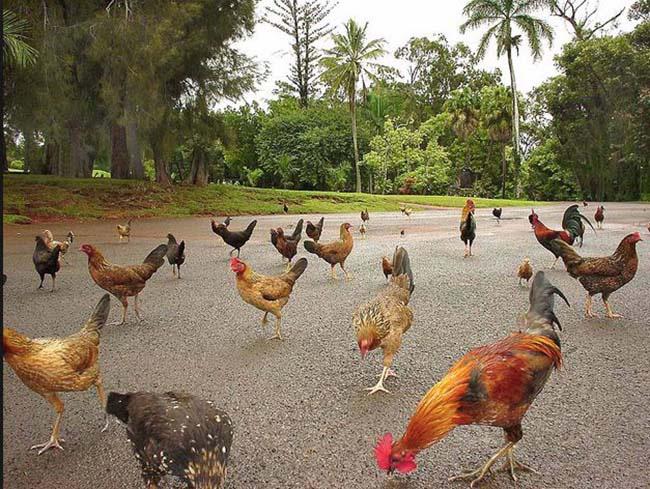 Ở vùng đất kỳ lạ, đi đến đâu cũng thấy toàn gà là gà - Ảnh 1.