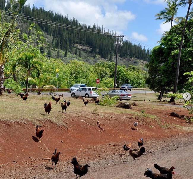Ở vùng đất kỳ lạ, đi đến đâu cũng thấy toàn gà là gà - Ảnh 2.