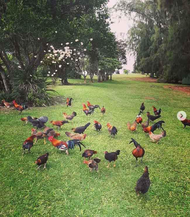 Ở vùng đất kỳ lạ, đi đến đâu cũng thấy toàn gà là gà - Ảnh 4.